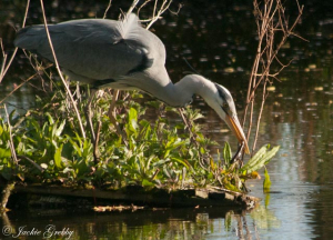 Grey Heron fishing for Newts?