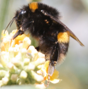 Unidentified Bumble bee