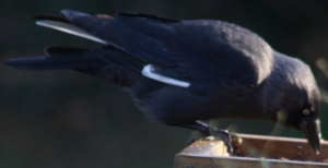 Jackdaw with white patches