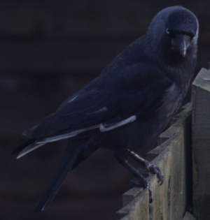 Jackdaw with white wing feathers