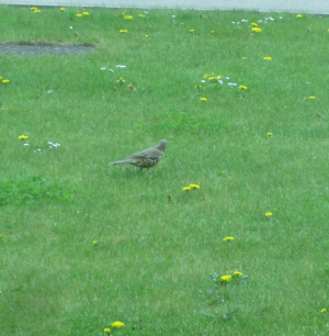 Possible Fieldfare
