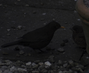 Blackbird and chick