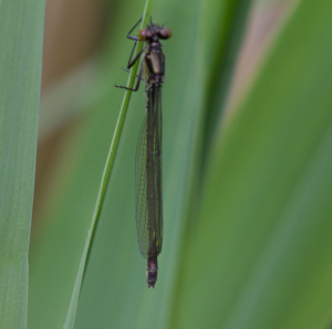Unidentified Damselfly