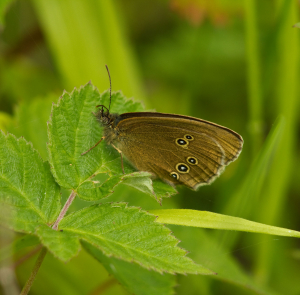 Unidentified Brown Butterfly