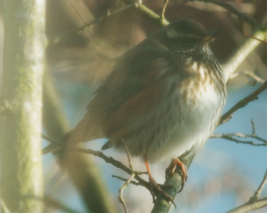 Redwings in the garden
