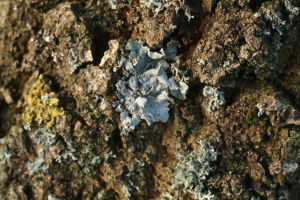grey foliose lichen