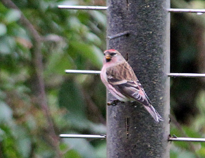 What type of Redpoll?