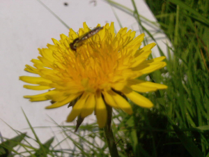 20110803_Insect_on_flower