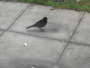 Blackbird found in Burghfield Common