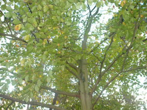Hazel tree in Burghfield Common