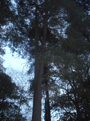 Scots Pine in Burghfield Common
