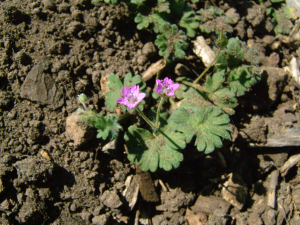 Geranium molle (Dove's foot Crane's-bill)