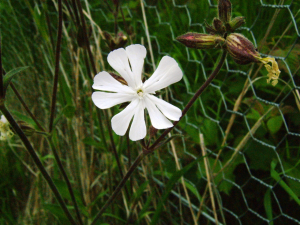 Silene vulgaris (Bladder Campion)