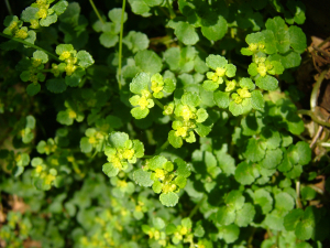 Chrysosplenium oppositifolium (Opposite-leaved Golden Saxifrage)