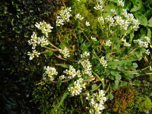 Cochlearia officinalis (Common Scurvygrass)