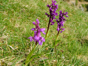 Orchis mascula (Early-purple Orchid)