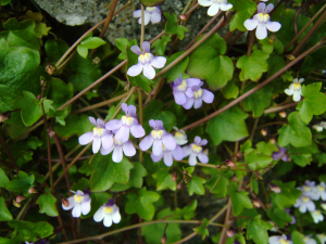 Cymbalaria muralis ( Ivy-leaved Toadflax)