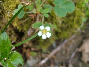 Potentilla sterilis (Barren Strawberry)