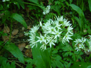 Allium ursinum (Ransoms)