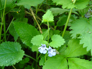 Glechoma hederacea (Ground-ivy)