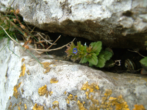 Veronica arvensis (Wall Speedwell)