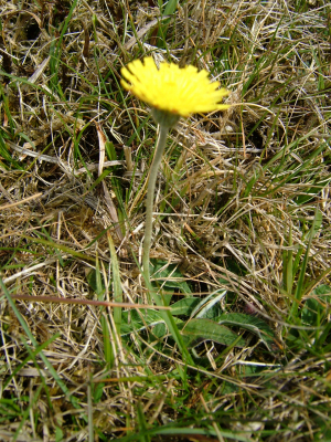 Pilosella officinarum (Mouse-ear Hawkweed)