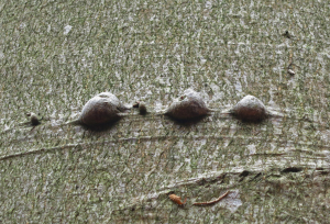 Black lumps in lines on beech trees