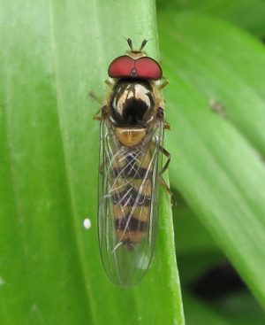 Hoverfly with Red Eyes
