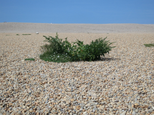 Big Plant on Chesil Beach -  JUNE 1ST 2014 - IMG_8821