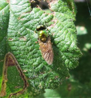 Fly with brown wings on bramble
