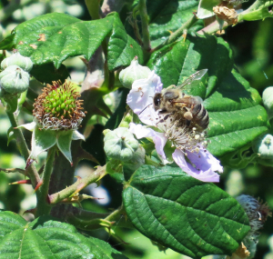 Honey Bee on Bramble Flower