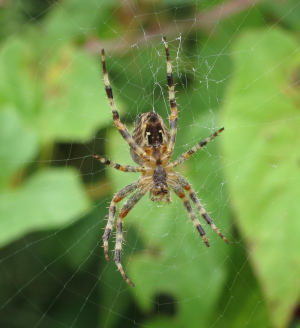 LUCY CORRANDER - UNDERSIDE OF SPIDER - SEPTEMBER 2ND 2014 - IMG_0422 - CR