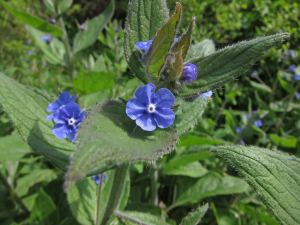 Is this Green Alkanet