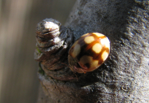 possible 10-spot ladybird