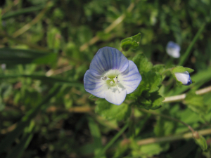 Common Field-speedwell