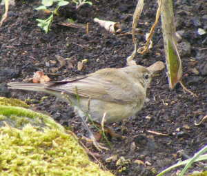 Willow Warbler or Chiffchaff