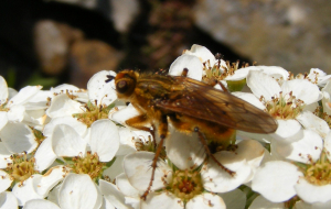 Yellow Dung Fly