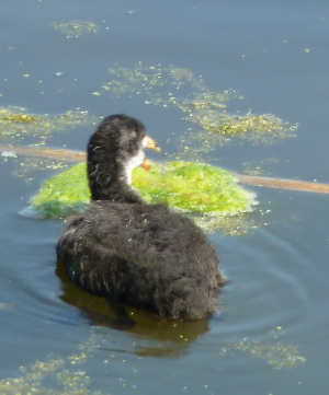 Solitary Coot Chick