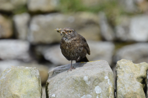 Female no2 Blackbird