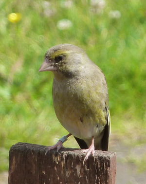 Ringed Greenfinch