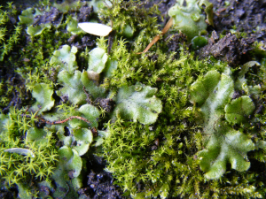 Liverwort with cups