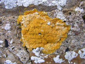 Egg Yellow Lichen