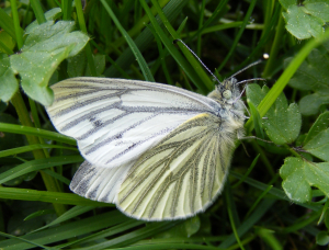 Green-veined White (3)