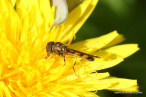 small hoverfly on dandelion