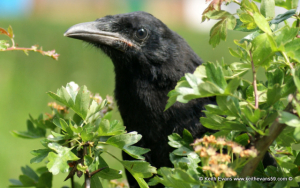 baby rook or crow ?