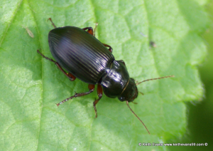 Beetle approx 15-17mm long