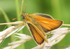 butterfly skipper type