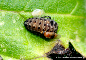 id ladybird larva and if poss from pic the wasp