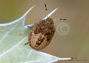 bug 10-12mm on seaholly , sand dunes.