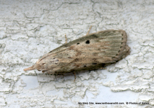 moth approx 20mm